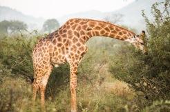 safari-2