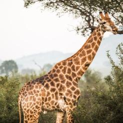 safari-3